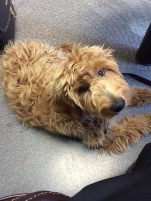 karli-therapy-dog